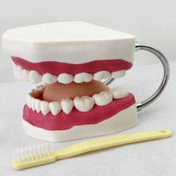Dental Oral Care Teeth Brushing Model With Large Toothbrush